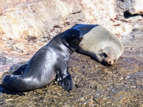 Houtbay, l'île aux phoques