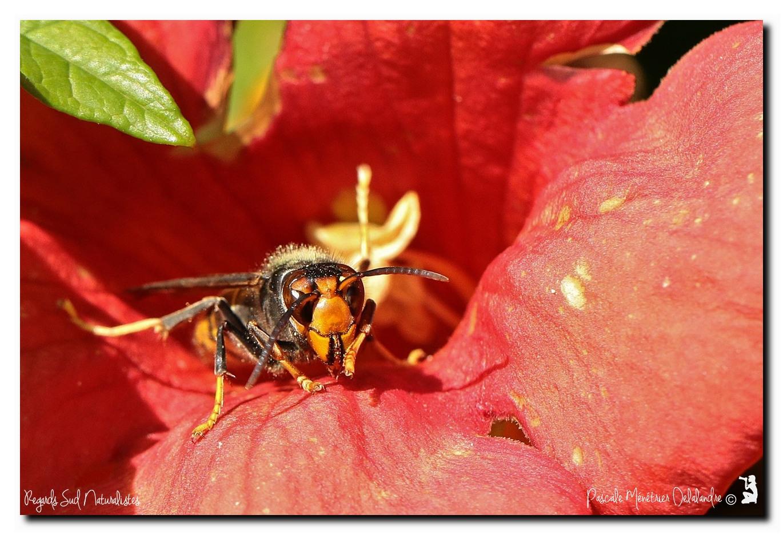 Frelon asiatique ♀ - Vespa velutina - Jeux de pattes et d'antennes