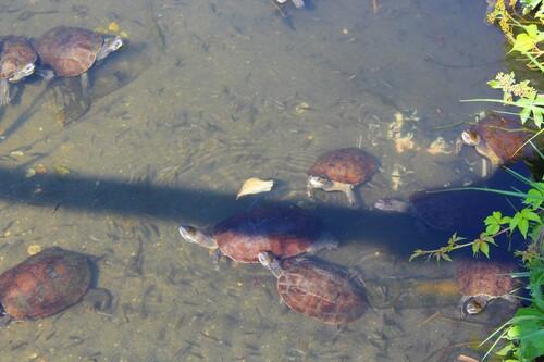 Tortues d'eau dans leur aquarium