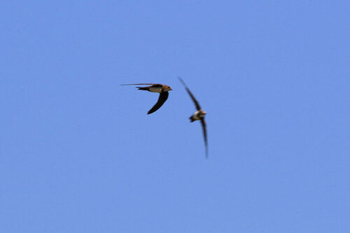 Martinet à ventre blanc (Alpine Swift)