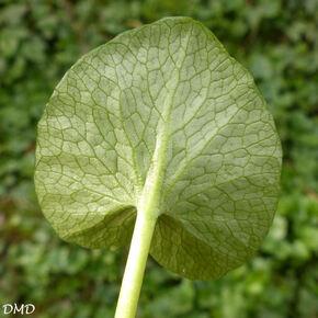 Ranunculus ficaria - ficaire