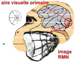 Les centres de traitement de la vision dans le cerveau (2)