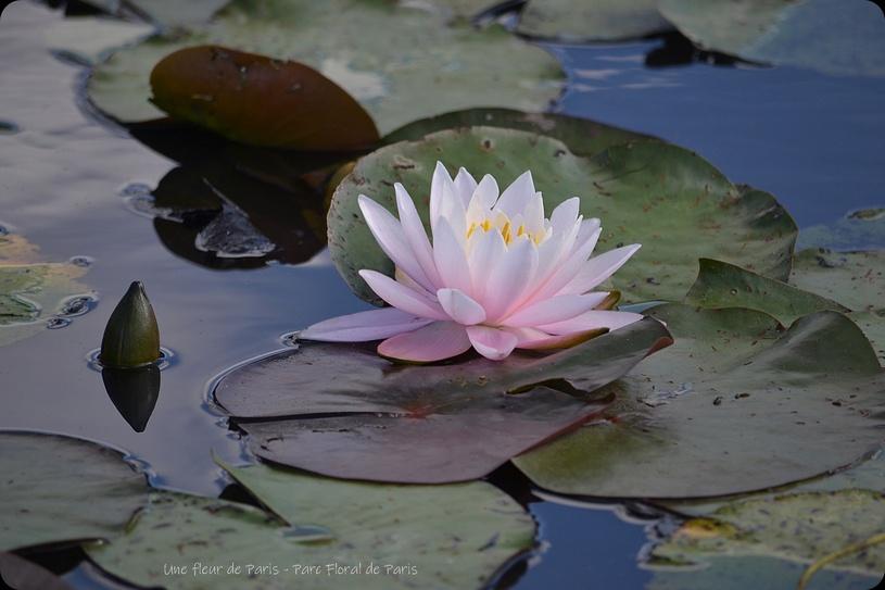 Parc Floral de Paris : Fleurs de Lotus et fleurs de Nénuphar ...