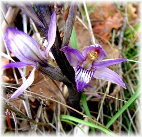 orchidee sauvage de dordogne