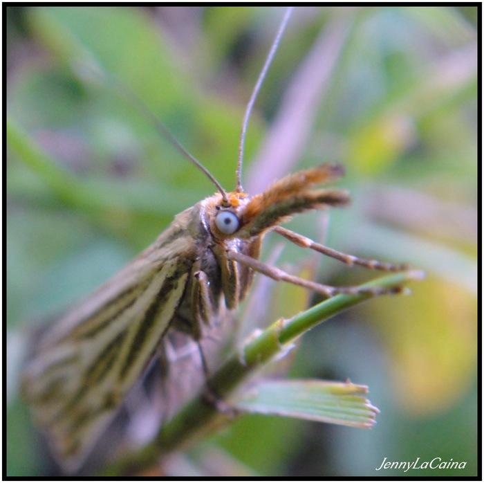 Lépidoptères Tineidae
