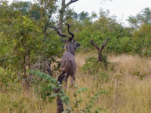 le grand kudu