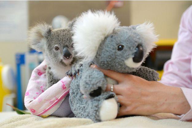 Shayne, le koala