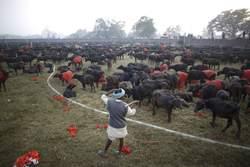 Début du sacrifice géant au Népal
