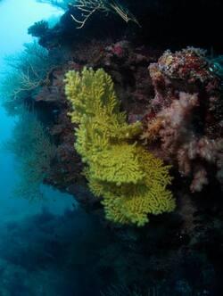 Sous l'eau ... Gorgones - Cliquer pour agrandir