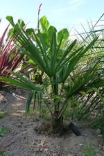 trachycarpus wagnerianus x Trachycarpus sp nainital