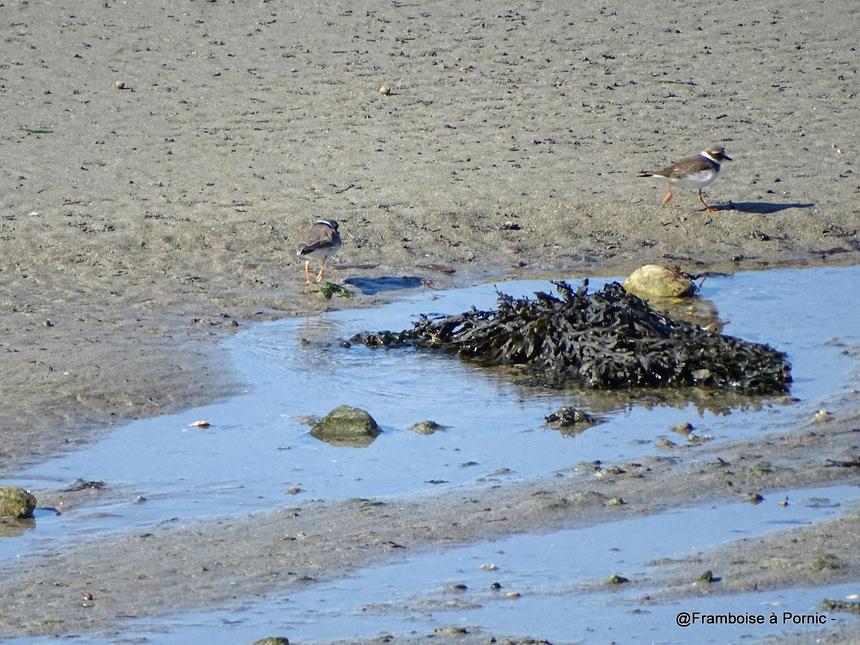 Les oiseaux de la Prée à la Plaine sur Mer - 44- Grand gravelot