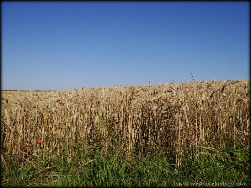 Champ de blé sous un ciel d'été, au matin
