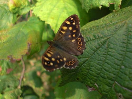 Un papillon peu courant dans le jardin