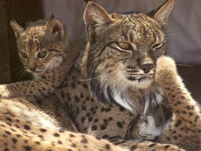 Le Lynx pardelle