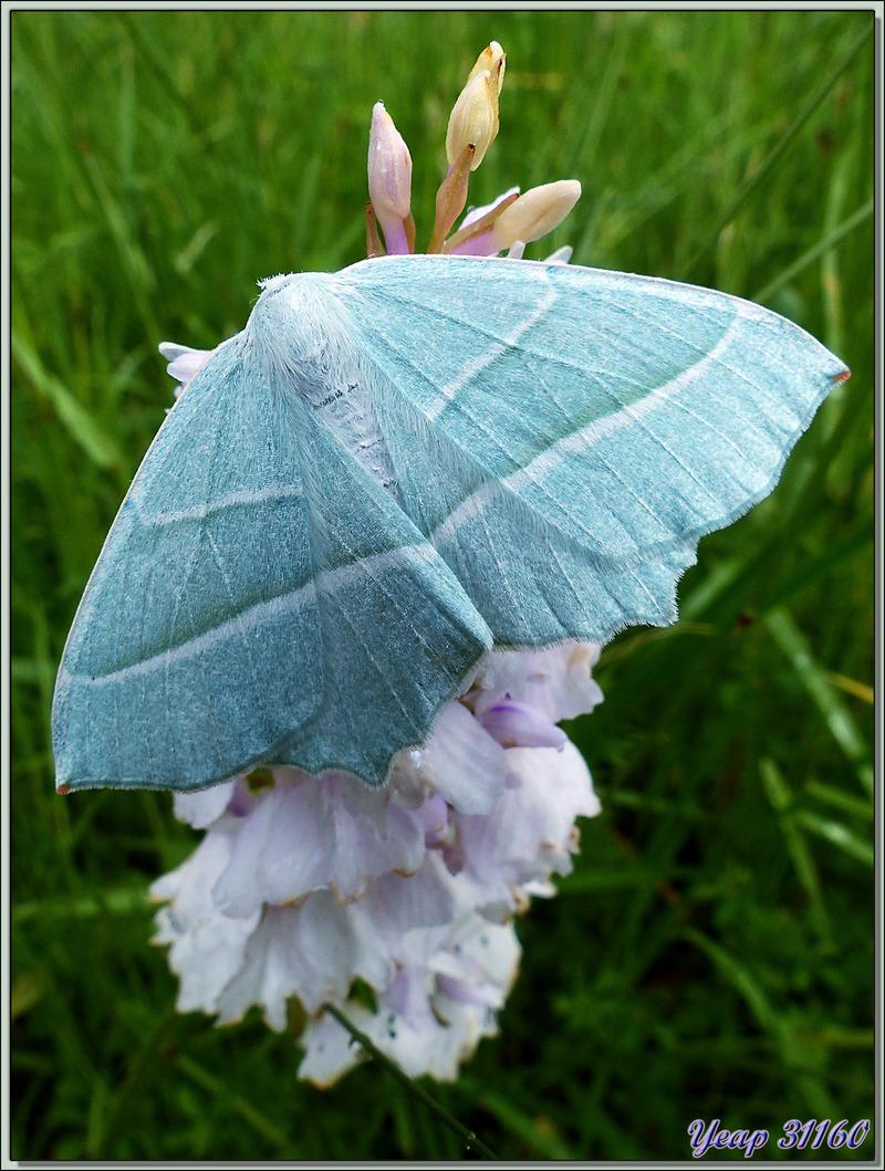 Papillon de nuit Phalène perlée (Campaea margaritata) - Lartigau - Milhas - 31