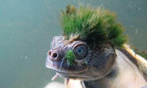 Cette tortue punk qui respire par son anus est menacée