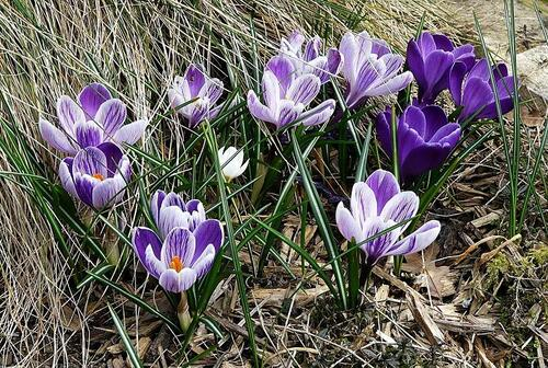 crocus mauves