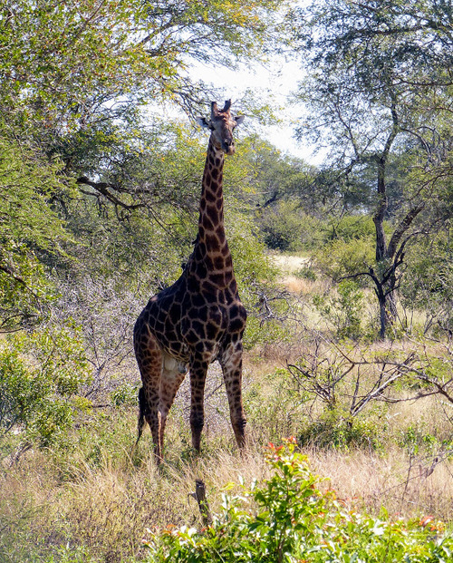 parc naturel Krüger; les girafes;