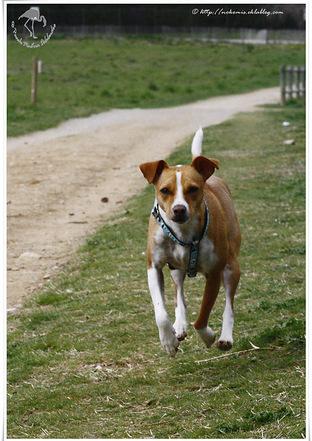 Petite chienne croisée Pinscher et Jack Russell terrier