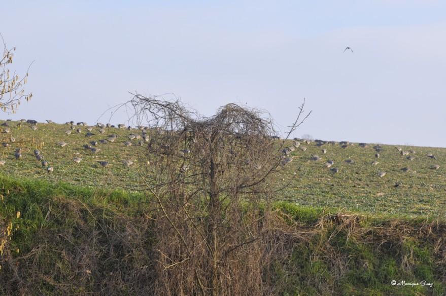 pigeons-au-sol-4528.jpg