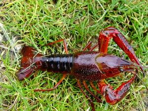 Ces espèces animales invasives qui entrent en Europe