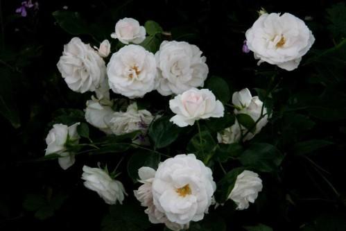 Aspirine-Rose6.jpg