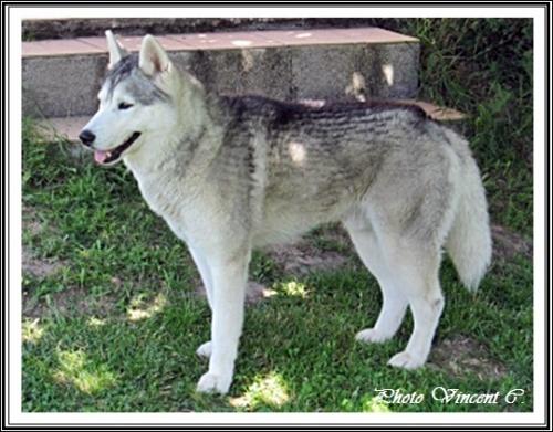 Fox Husky 21 mois