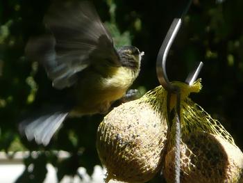 oiseaux mésanges (13)