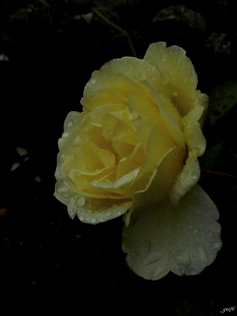 Rose...!!
