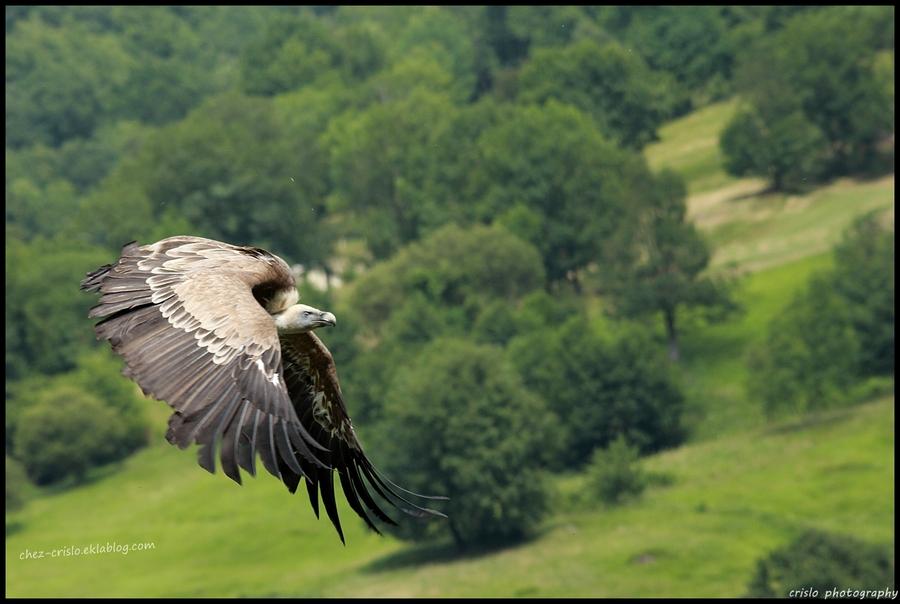 le vautour fauve (hautes Pyrénées)