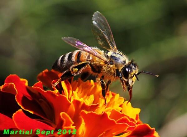 Abeille-fleur-rouge-1.jpg
