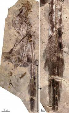 À gauche les restes fossilisés de Changyuraptor. À droite un zoom sur la partie correspondant à sa queue ornée de plumes.