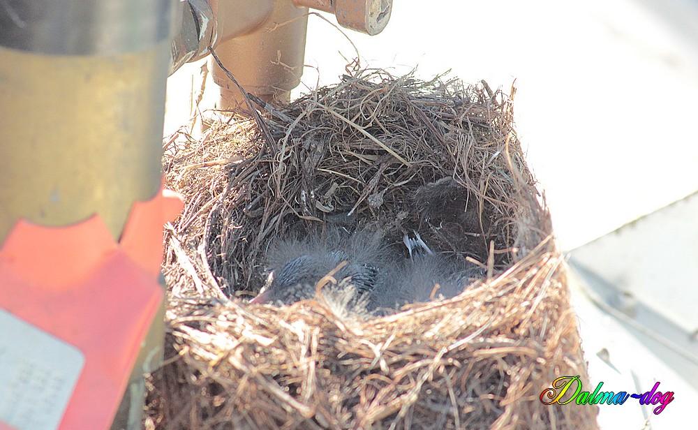 nid de bergeronnette