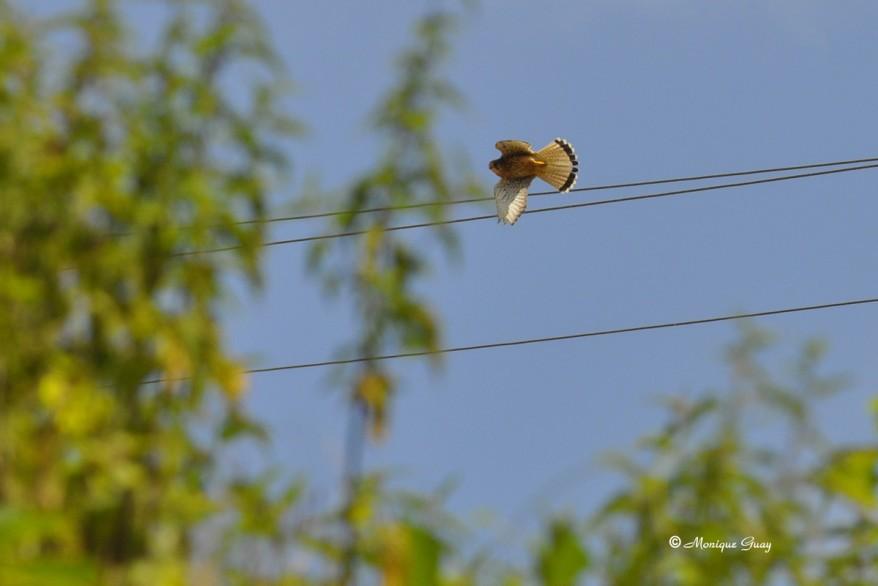 faucon-crecerelle-0278.jpg