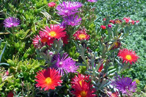 Ficoïdes : les fleurs !