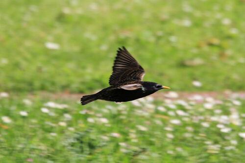 Etourneau Sansonnet (Common Starling)
