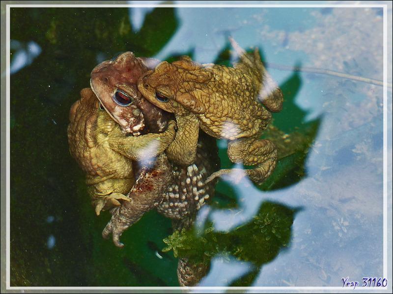 Après les grenouilles, ce sont les crapauds communs (Bufo bufo) qui assurent leur descendance dans mon bassin à poissons - Lartigau - Milhas - 31