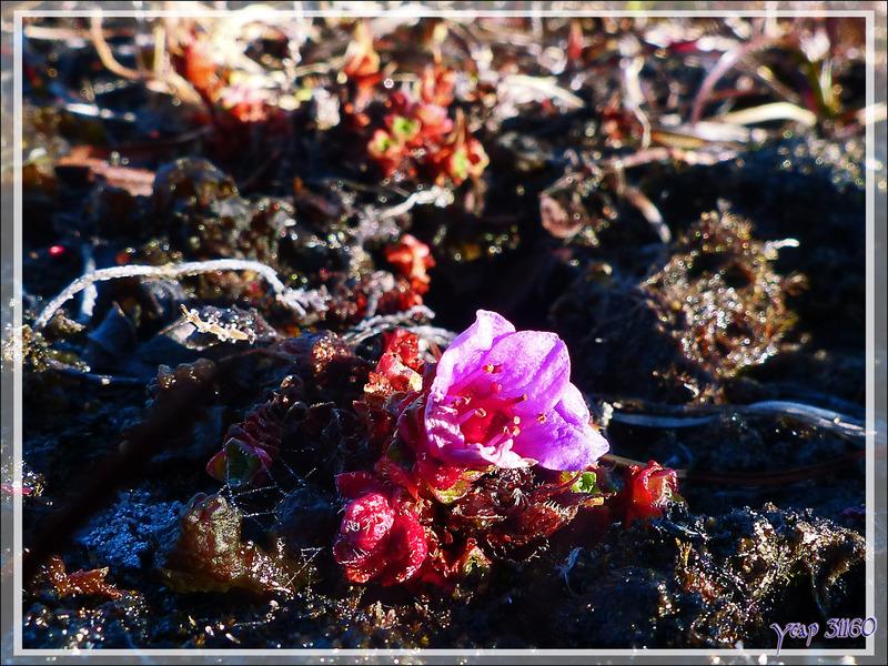 Botanique à Dundas Harbour - Ile Devon - Baie de Baffin - Nunavut - Canada