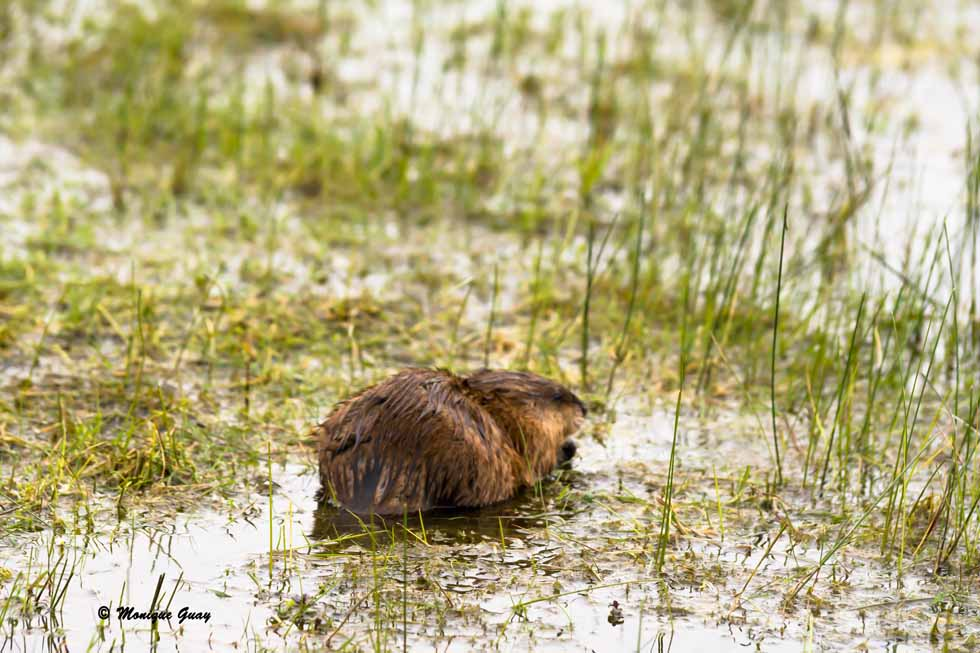 Ragondin au bord d'un étang