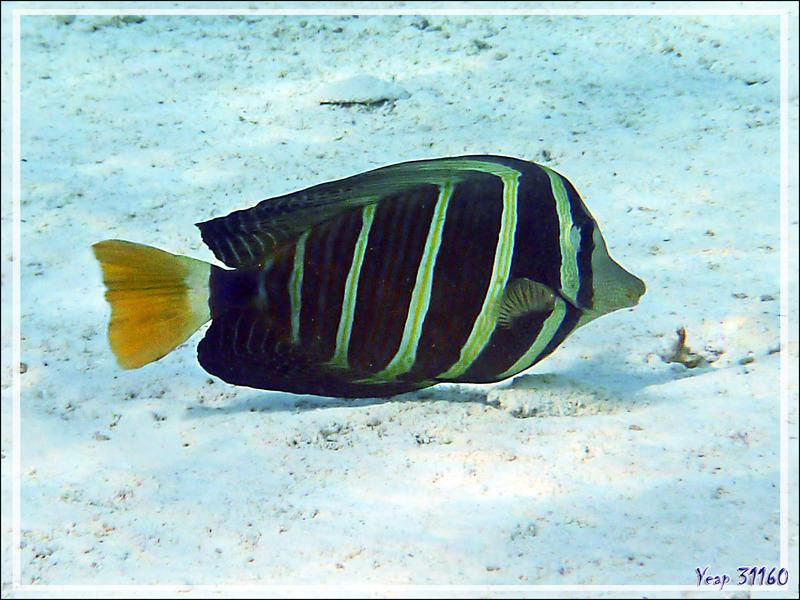 Chirurgien voilier, Sailfin tang (Zebrasoma velifer) nageoires repliées - Lagon de la Pension Kuriri - Maupiti - Polynésie française