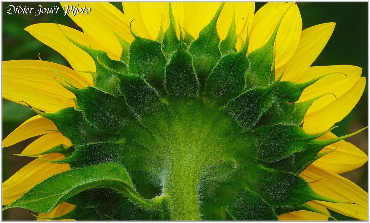 Tournesol (1) - Helianthus annuus