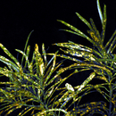 Croton de nuit (2) - Photo : Edgar