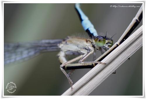 Ischnura elegans ♂ & ♀ (de type C) - Ischnure élégante