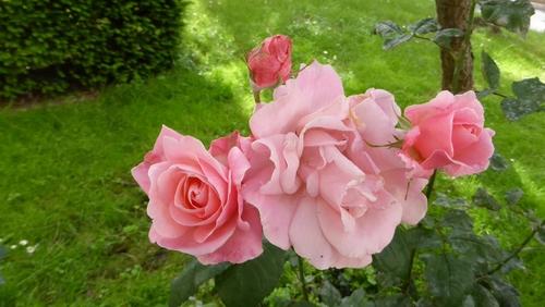 Des roses roses tout près de chez moi