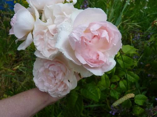 les roses en 2016 2