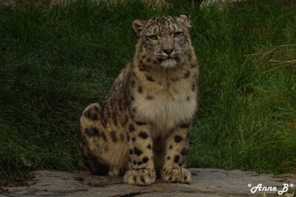 Laila, léopard des neiges, femelle de Pairi Daiza