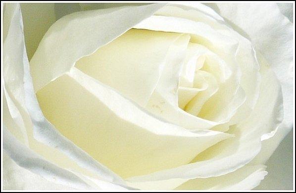 macro-rose-blanche1.jpg