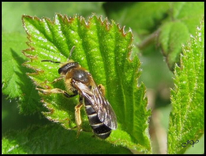 Andrena dorsata.