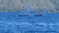 Baleines à bosse Hienghène Nouvelle Calédonie - Cliquer pour agrandir