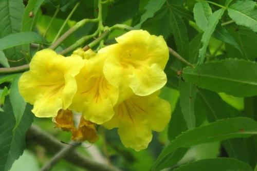 Fleurs de Birmanie